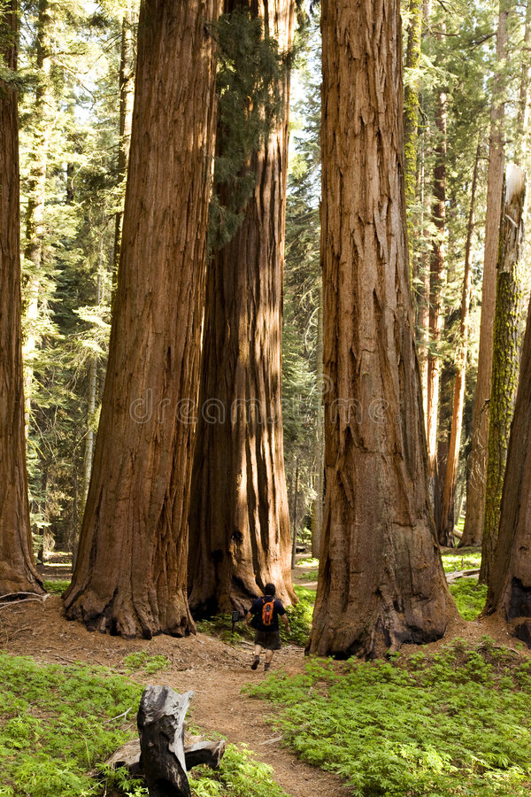 Man Hiking on Trail Next to Redwood Grove royalty free stock image