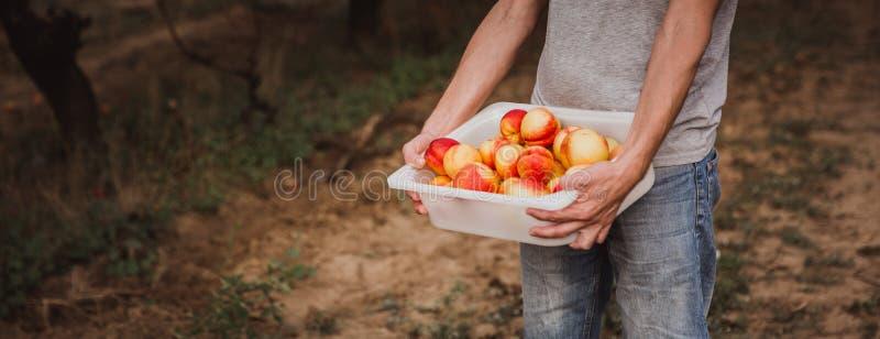 Man holding a box full of organik nectarines. Ingathering. Autumn royalty free stock image