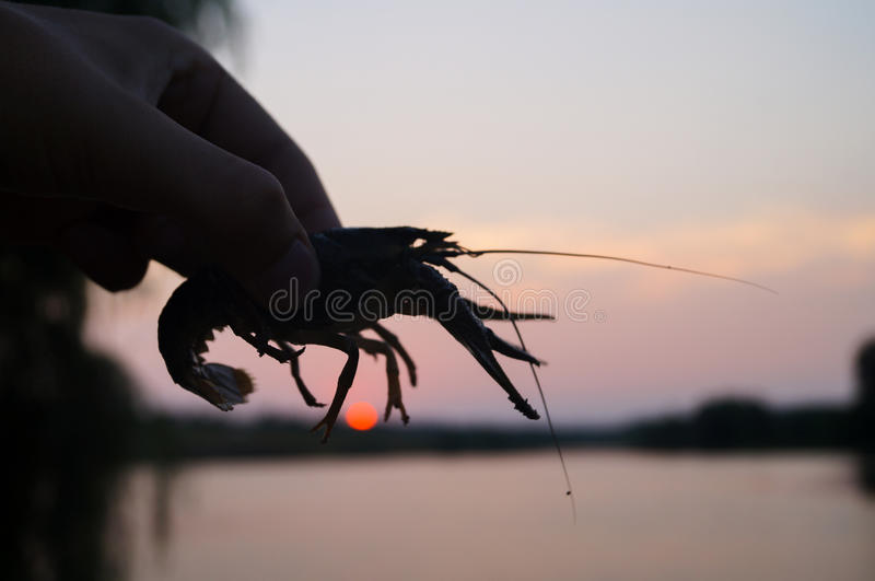 Man holding crayfish in the hands. stock images