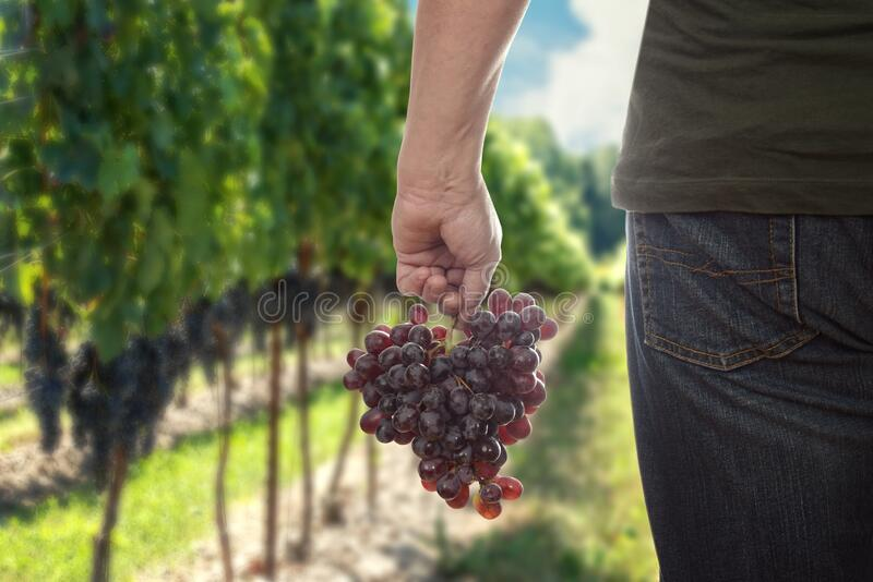 Man holding fresh picked red seedless grapes royalty free stock photo