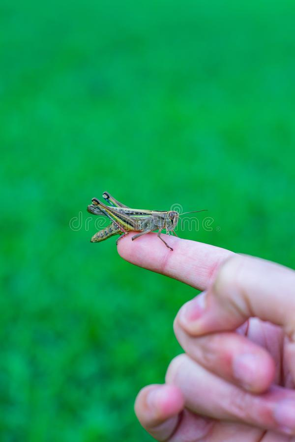 A man is holding a grasshopper on his hand royalty free stock photography