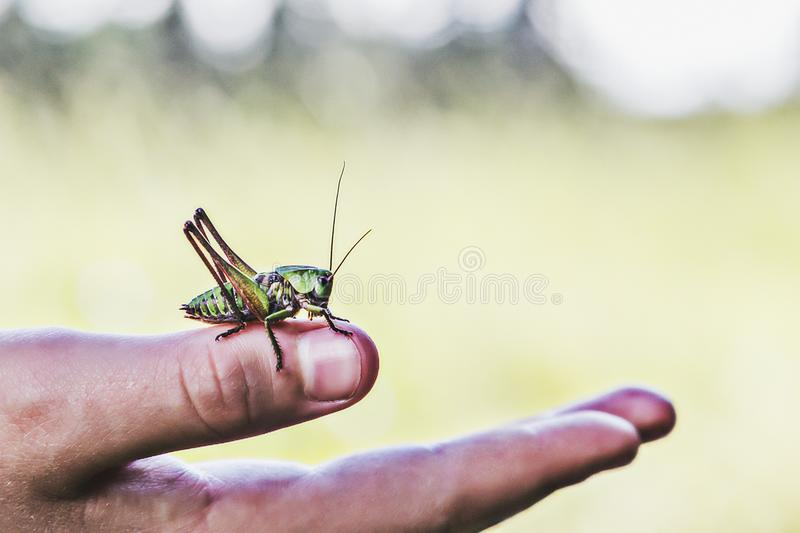 A man is holding a grasshopper on his hand. stock photo