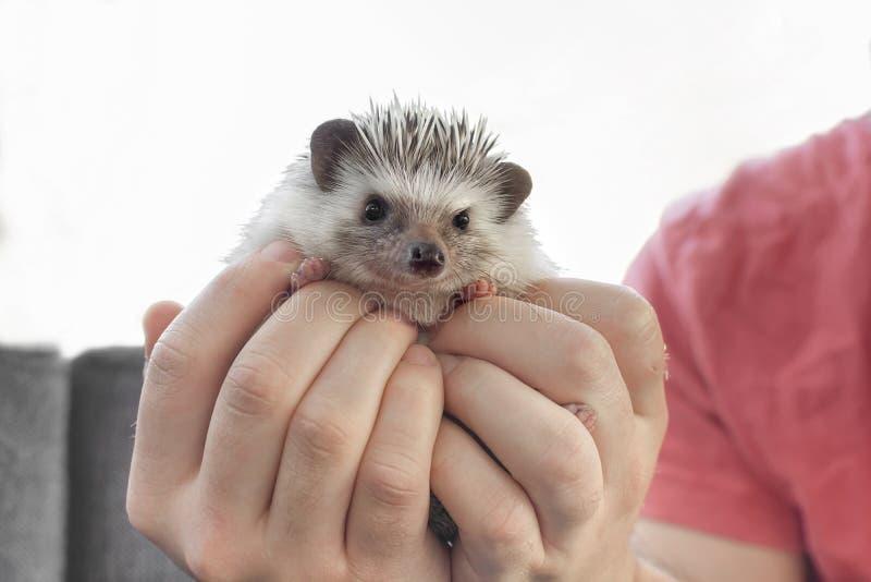 Man holding little pet African dwarf hedgehog on hand stock image
