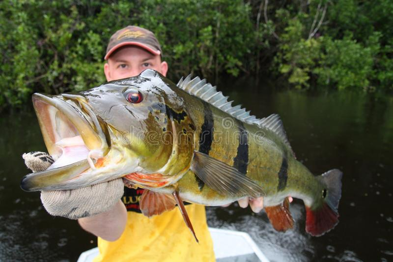 Man holding a peacock-bass (Cichla Temensis) in Amazonia stock photos
