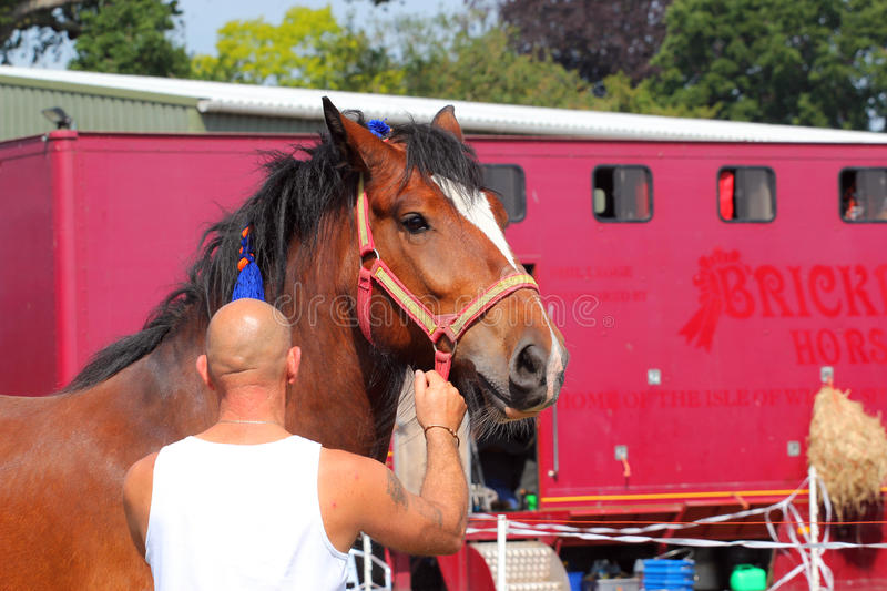 man holding reins heavy draft or draught horse royalty free stock photos