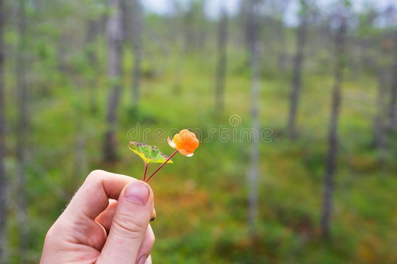 Man holding ripe cloudberry. royalty free stock photography