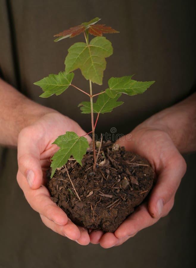 Man Holding Seedling stock photography