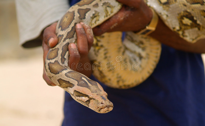 Download Man holding snake stock image. Image of cruelty, sand - 8933549