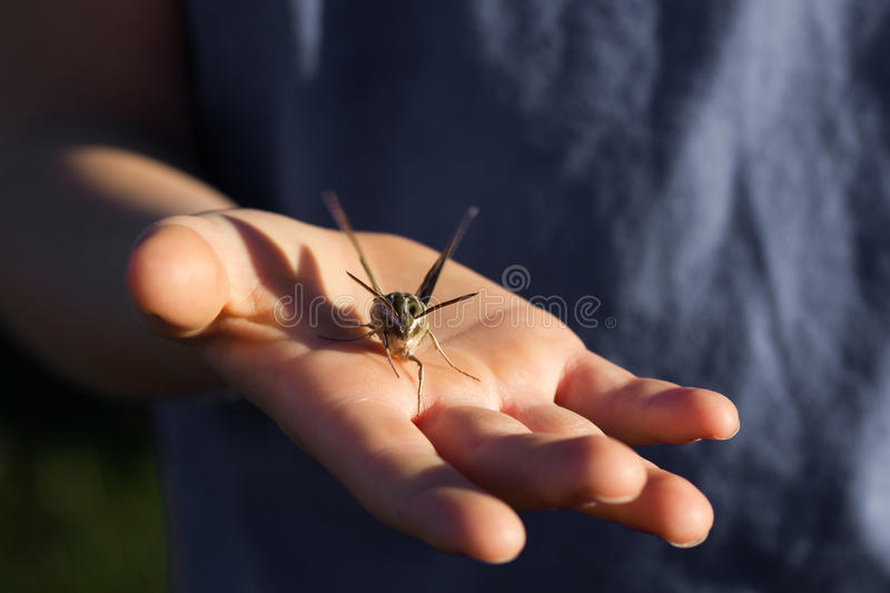 Download Man Holding Sphinx Moth In His Hand Stock Photo - Image: 92730146