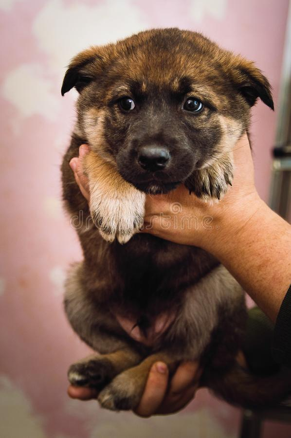 A man holds in his hands a cute mongrel puppy. Close-up. A man holds in his hands a cute mongrel puppy. Closeup stock photo