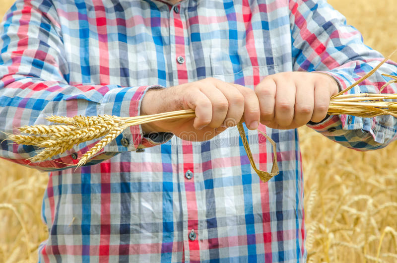 Man holds a ripe wheat . Man hands with wheat. man destroy ripe wheat. stock image