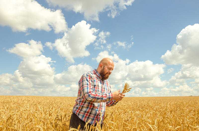 Man holds a ripe wheat . Man hands with wheat. Wheat field against a blue sky. wheat harvest in the field. ripe wheat closeup stock photos