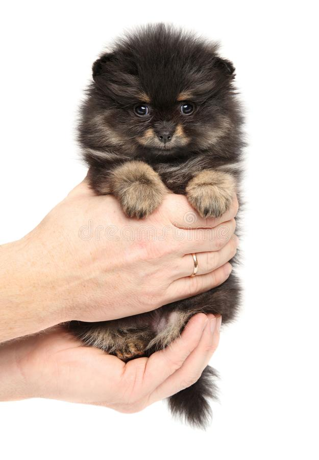 Man holds tiny Spitz puppy in hands on white background. Baby animal theme royalty free stock photo