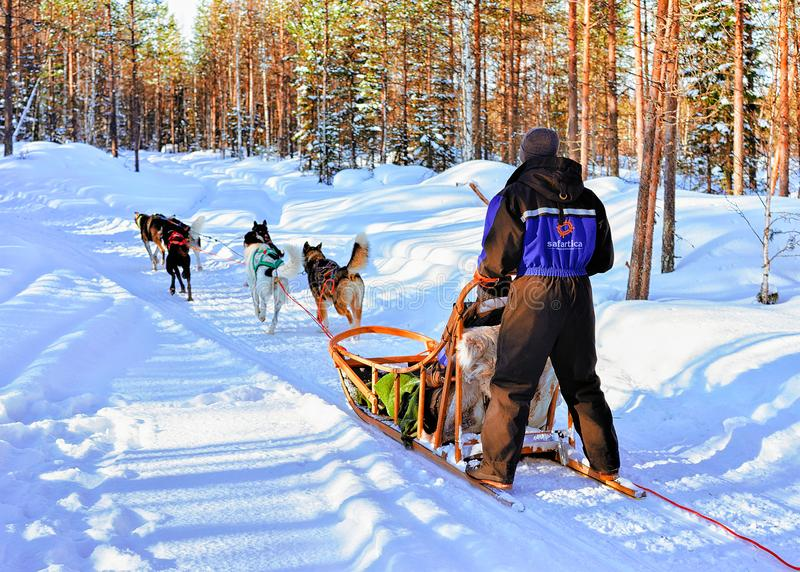 Man i Husky Dogs Sled i Rovaniemi i Finland Lapland fotografering för bildbyråer