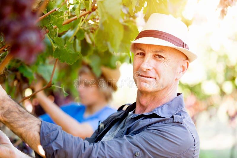 Man i vingård arkivbilder