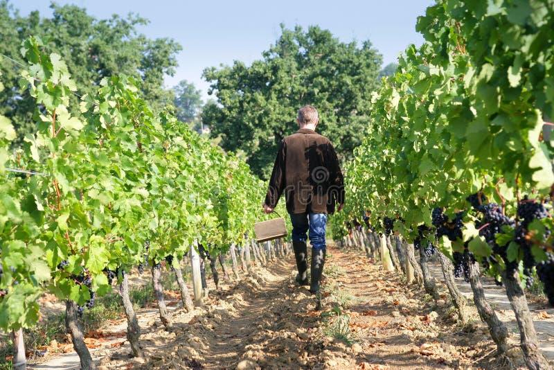 Man i vingårdarna royaltyfria foton