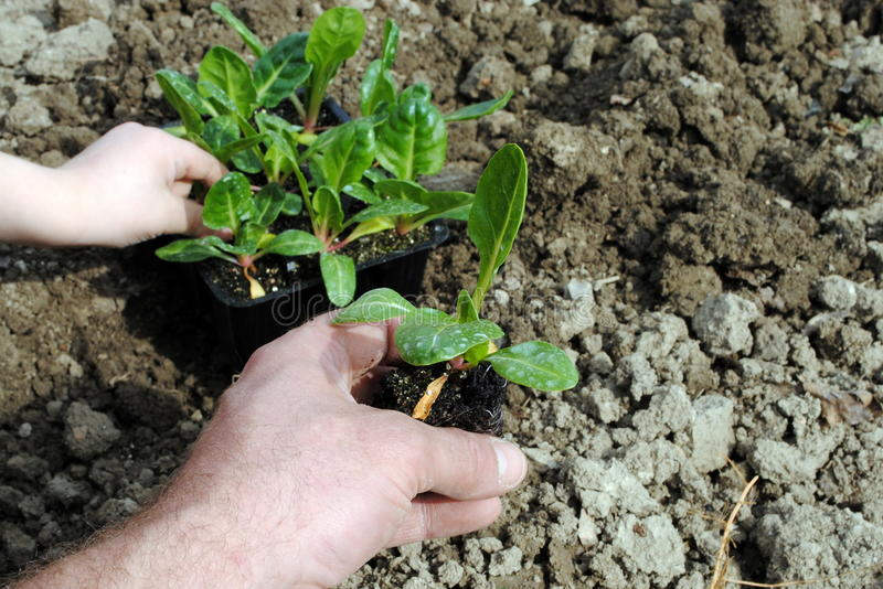 Man and kid hands with seedlings royalty free stock images