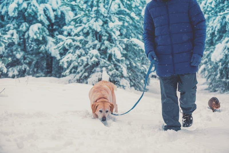 A man with a Labrador retriever dog walks in deep snow stock images