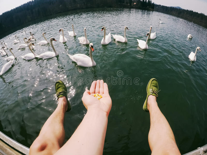 Man lags above water feeding swans. Wide angle royalty free stock photography