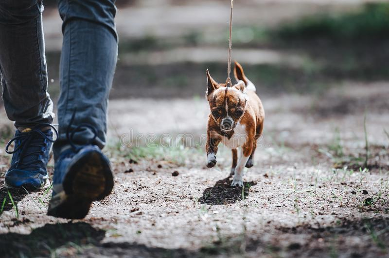 A man leads a small dog of the Chihuahua breed on a leash. The dog goes near the legs royalty free stock photos