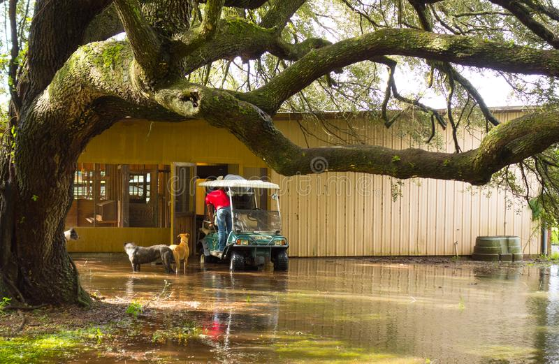 Rescuing chicken from a flooded coop after a hurricane in florida stock photography