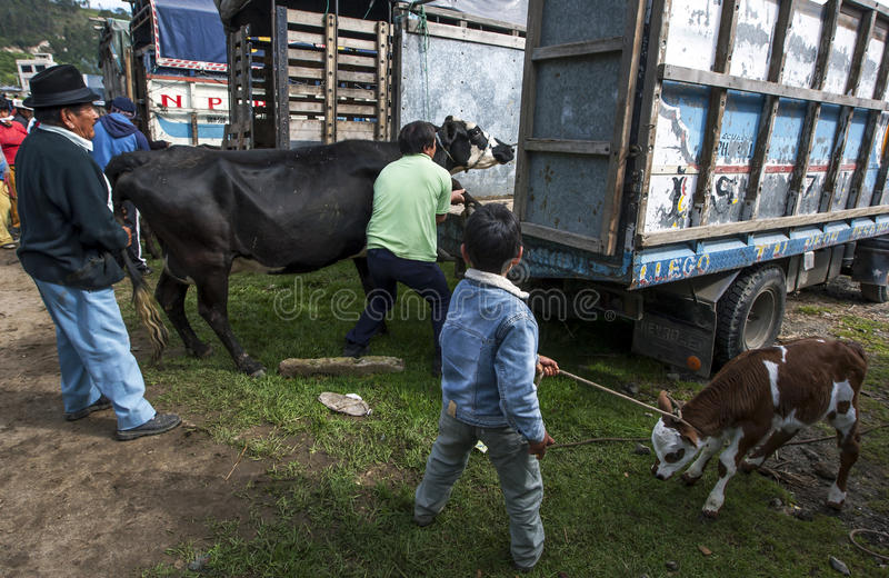A man loads a cow onto his truck as a boy holding a calf looks on at the Otavalo animal market in Ecuador. A man loads a cow onto his truck as a boy holding a stock photography