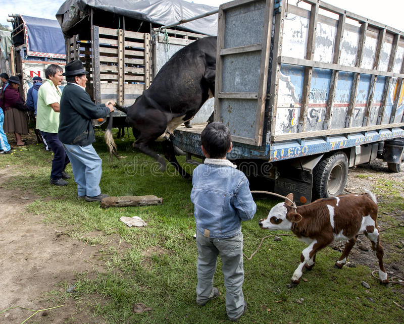 A man loads a cow onto his truck as a boy holding a calf looks on at the Otavalo animal market in Ecuador. A man loads a cow onto his truck as a boy holding a stock photo