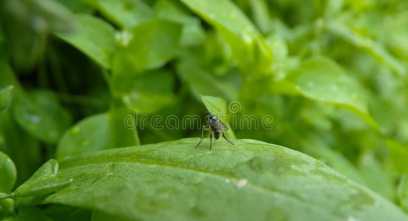Unusual and rare fly in the garden. A man with long legs and a mustache sits on a leaf. Unusual and rare fly in the garden stock image