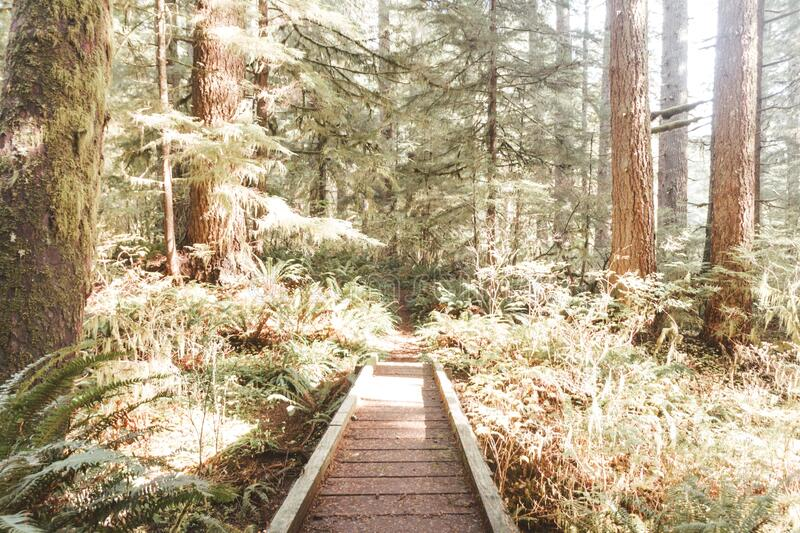 Man-made wooden path in the sunny forest surrounded with trees. A man-made wooden path in the sunny forest surrounded with trees stock photos