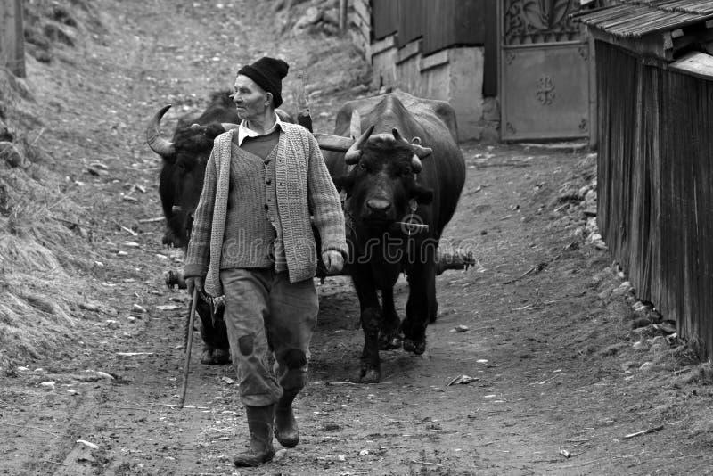 Man med oxar som arbetar i en liten by i Rumänien arkivbild