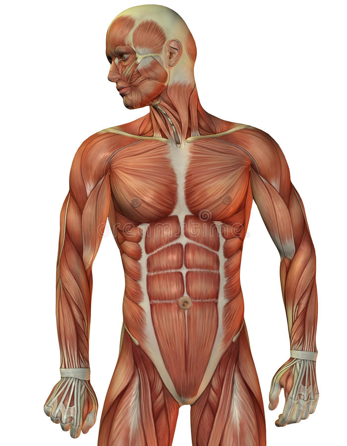 Man Muscle Structure Front View Stock Illustration Illustration Of
