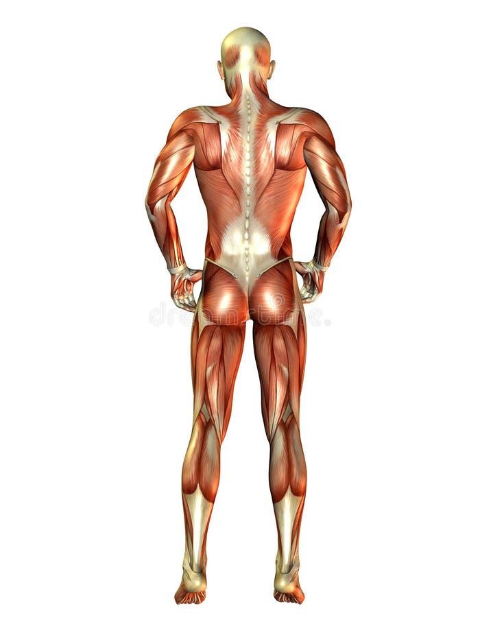 Man muscles back view stock illustration. Illustration of back ...