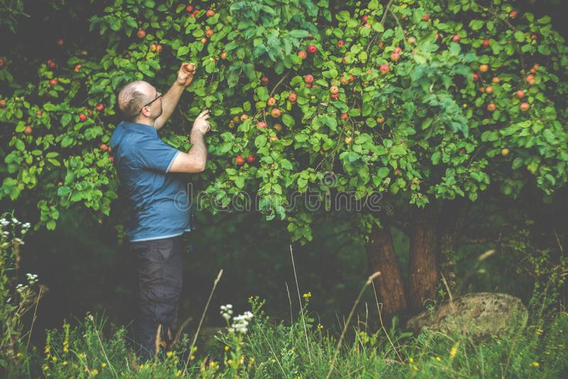 Man picking up wild apples in forest stock photo
