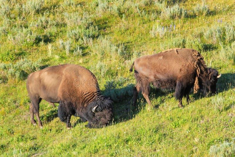 Man och kvinnlig bison som betar i ett fält, Yellowstone medborgare P royaltyfri fotografi