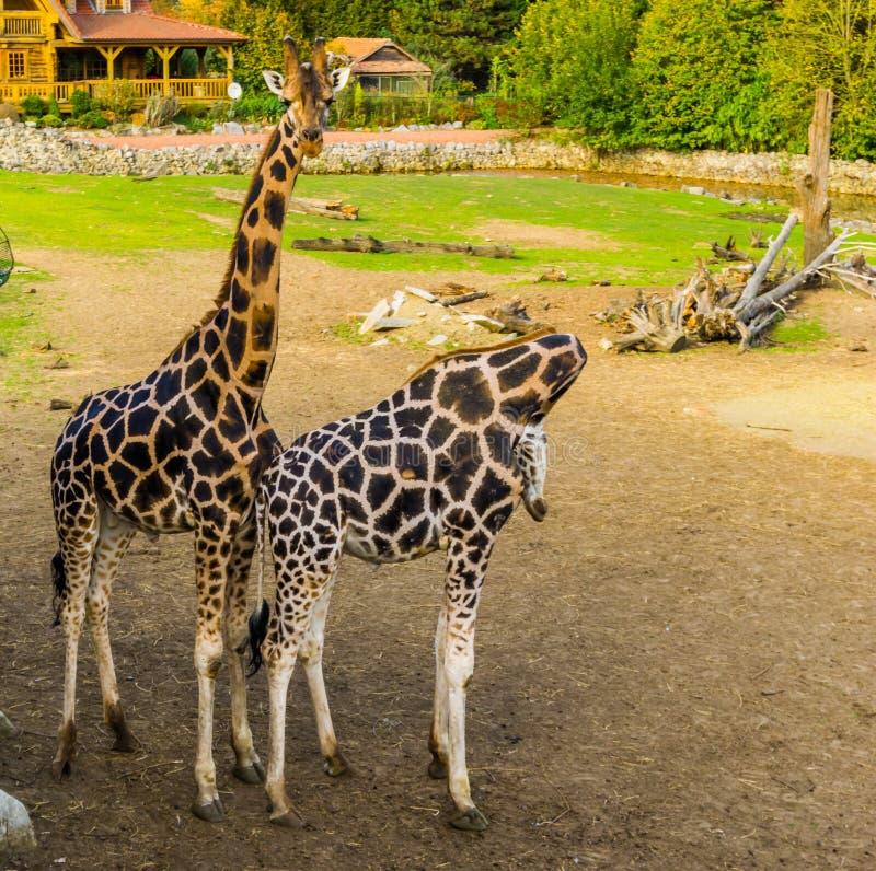 Man och kvinnliga giraffpar som tätt tillsammans står, populära zoodjur, hotade arter från Afrika royaltyfria bilder