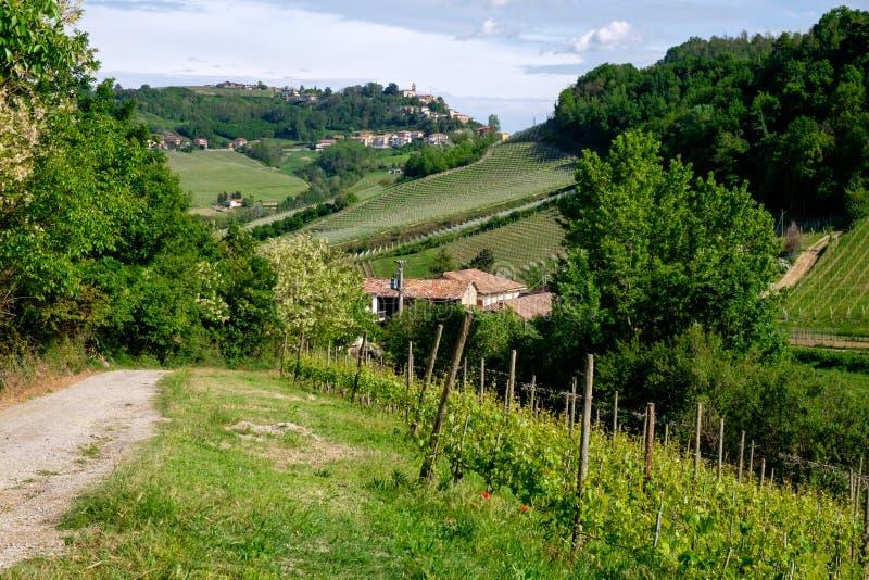 Man på ritter för en häst bland vingård med den Monforte d'Albabyn Bana från Barolo royaltyfri fotografi
