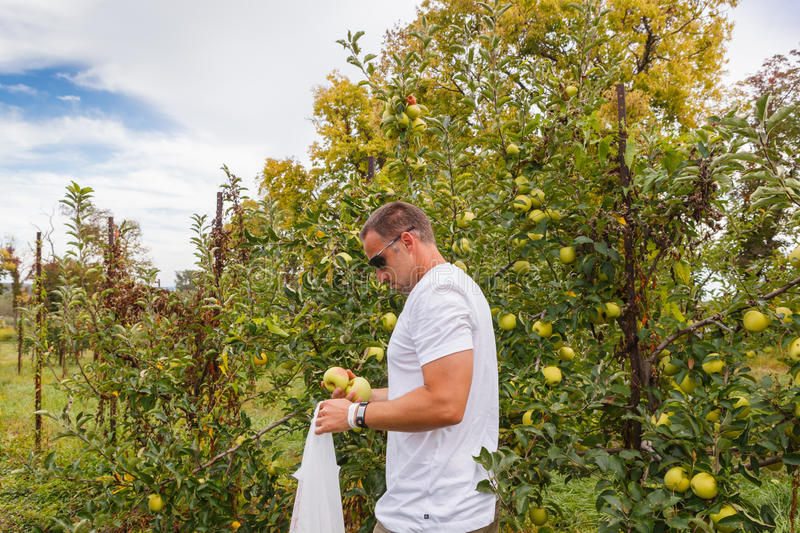 Download Man Picking Apples Stock Photo Image Of Food Male
