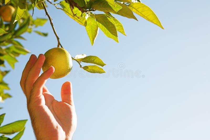 Man picking lemons stock photo