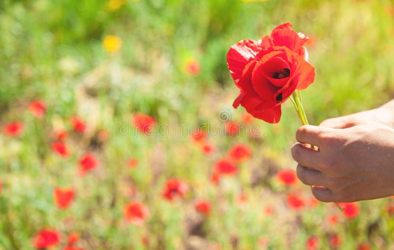 Man picking up red poppies. Poppy field royalty free stock photo