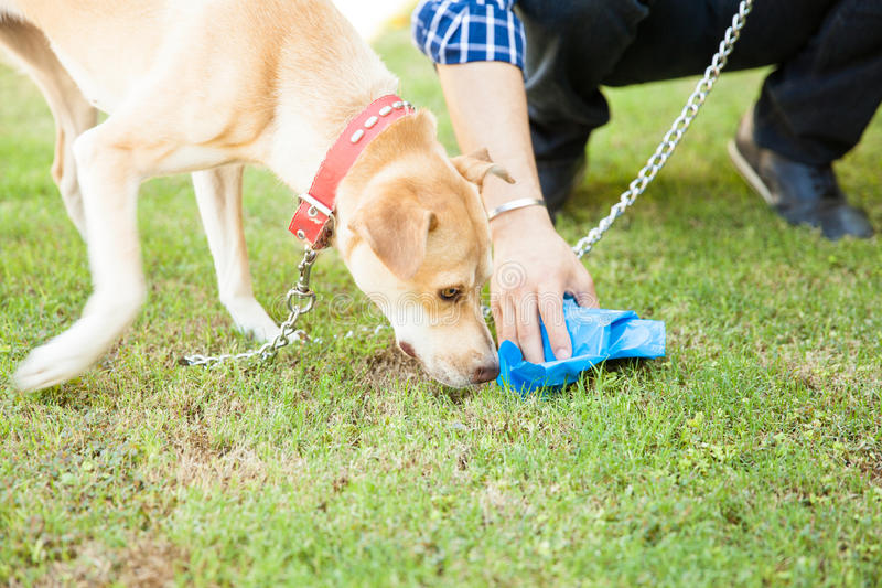 Man picking up some dog poop. Closeup of the hand of a man picking up some dog poop with a bag while his dog sniffs it stock photo