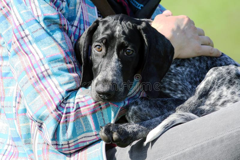 Man in a plaid blue jacket is holding a small black puppy german shorthaired pointer, kurtshaar stock photos