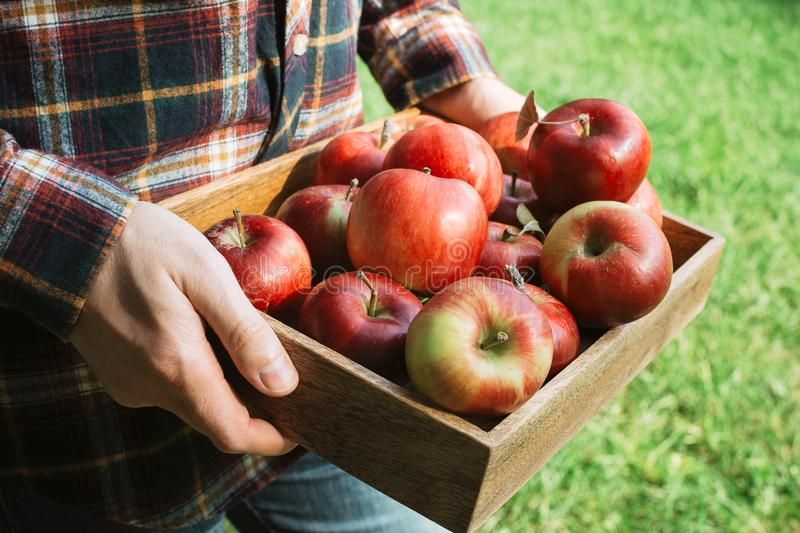 Man in plaid shirt holding wooden box with organic ripe red apples stock images