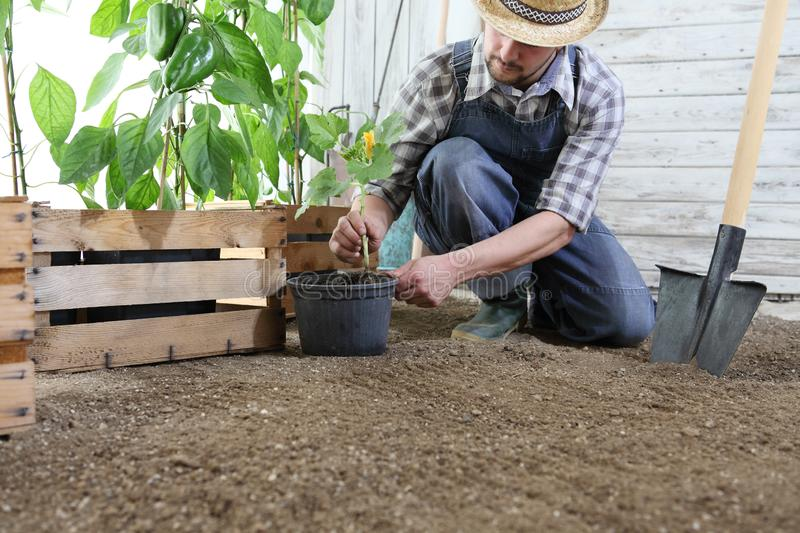 Man plant out a seedling in vegetable garden, work the soil with the garden spade, near wooden boxes full of green plants royalty free stock photos