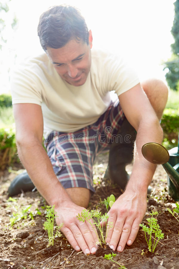 Man Planting Seedling In Ground On Allotment stock images