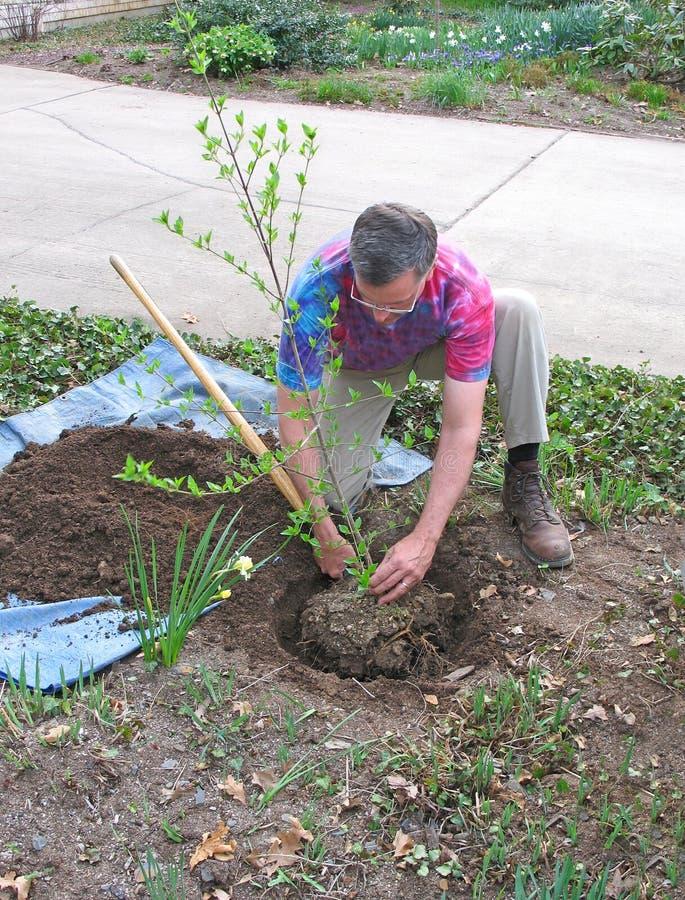 Man planting tree. In suburban front yard stock photos
