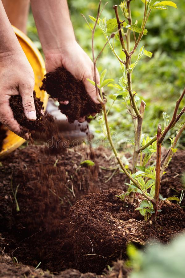 Man is planting a young blackberry bush into the soil, gardening and horticulture. Rubus fruticosus royalty free stock photography