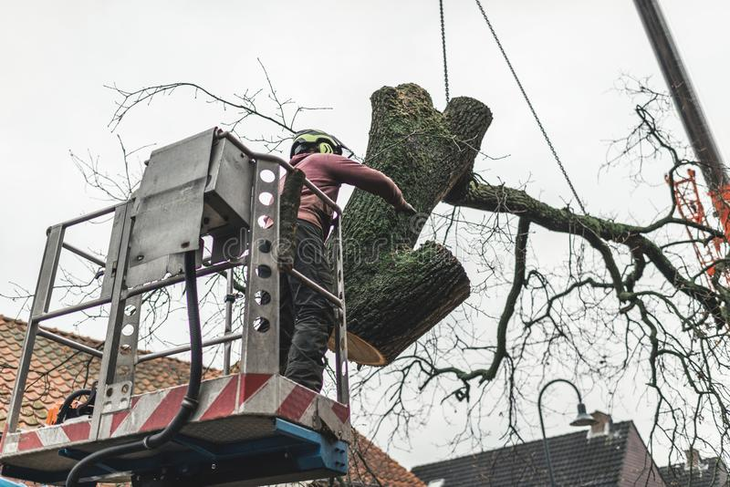 Man in platform putting chopped tree in right direction. stock photo