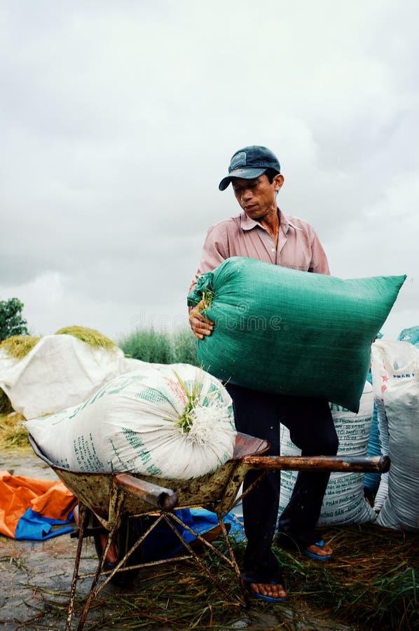 man plockning- och emballagepåsar av ris till en skottkärra royaltyfri fotografi