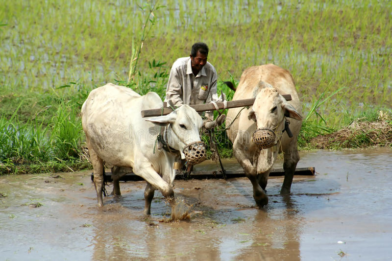 Download Man plowing the field editorial stock image. Image of indonesia - 23807529