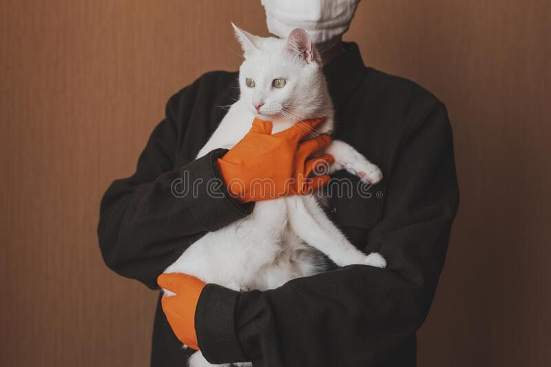 A man in protective gloves holds an animal in his hands. The cat is sitting on the hands of a man in a protective mask. A man in protective gloves holds an stock photos